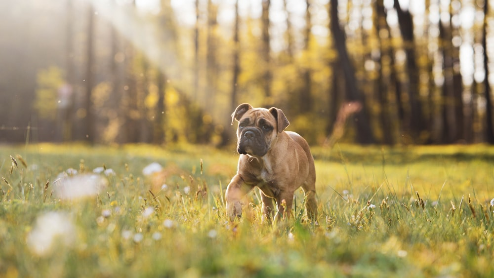 Inspiration for Boxer dog name ideas can be taken from many places