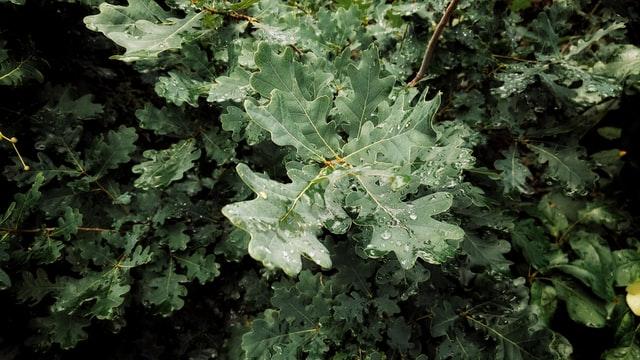Oak tree leaves have a distinctive wiggly shape.
