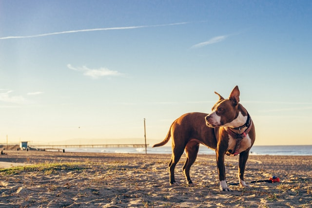 Pitbulls are very suitable as assistance dogs and as pets.