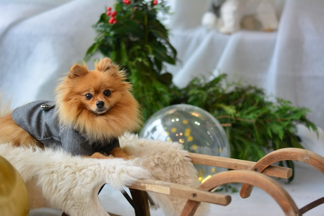 A Pomeranian dog is a kind of lively and affectionate dog and it should have cute Pomeranians' names.