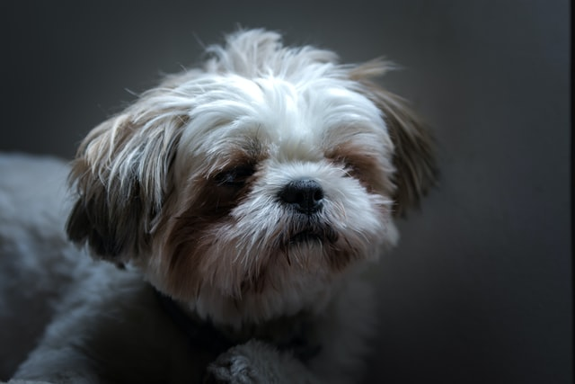 Names for Shih Tzu dogs should be elegant to induce a classy nature.