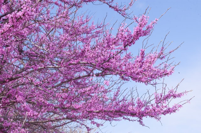 The redbud tree can have lilac or pink blooms.