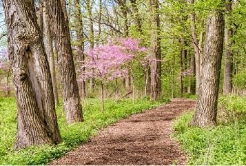 Redbuds make popular garden trees because of their flowers.