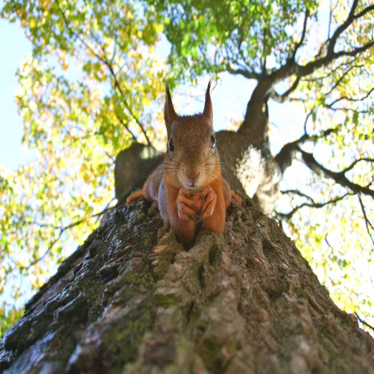 Red squirrels are interesting as well as adorable.