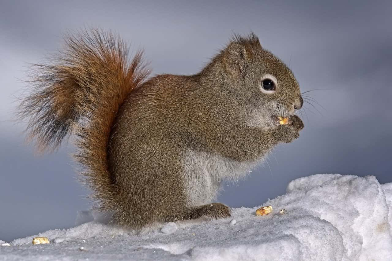 American red squirrels eat seeds and nuts as well as pine cones.