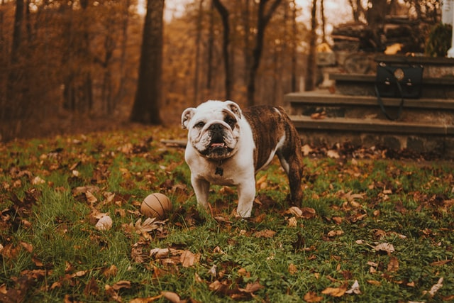 Bulldogs are used as pets now instead of for fighting.