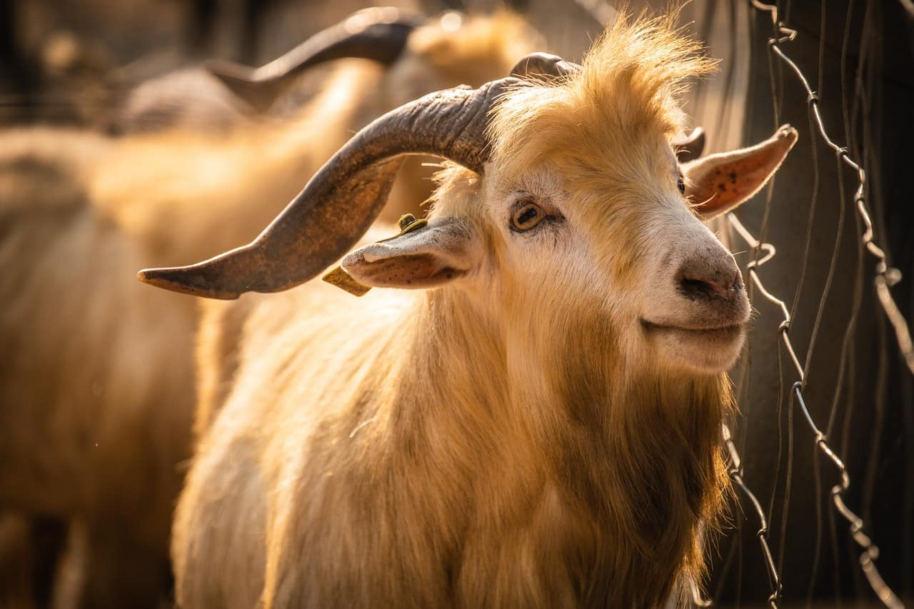 The zodiac symbol for Aries is the ram.