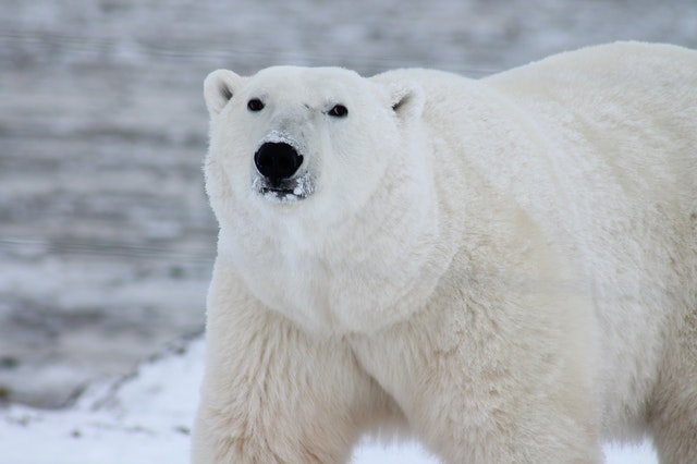 Polar bears are hard to detect using thermal image cameras.