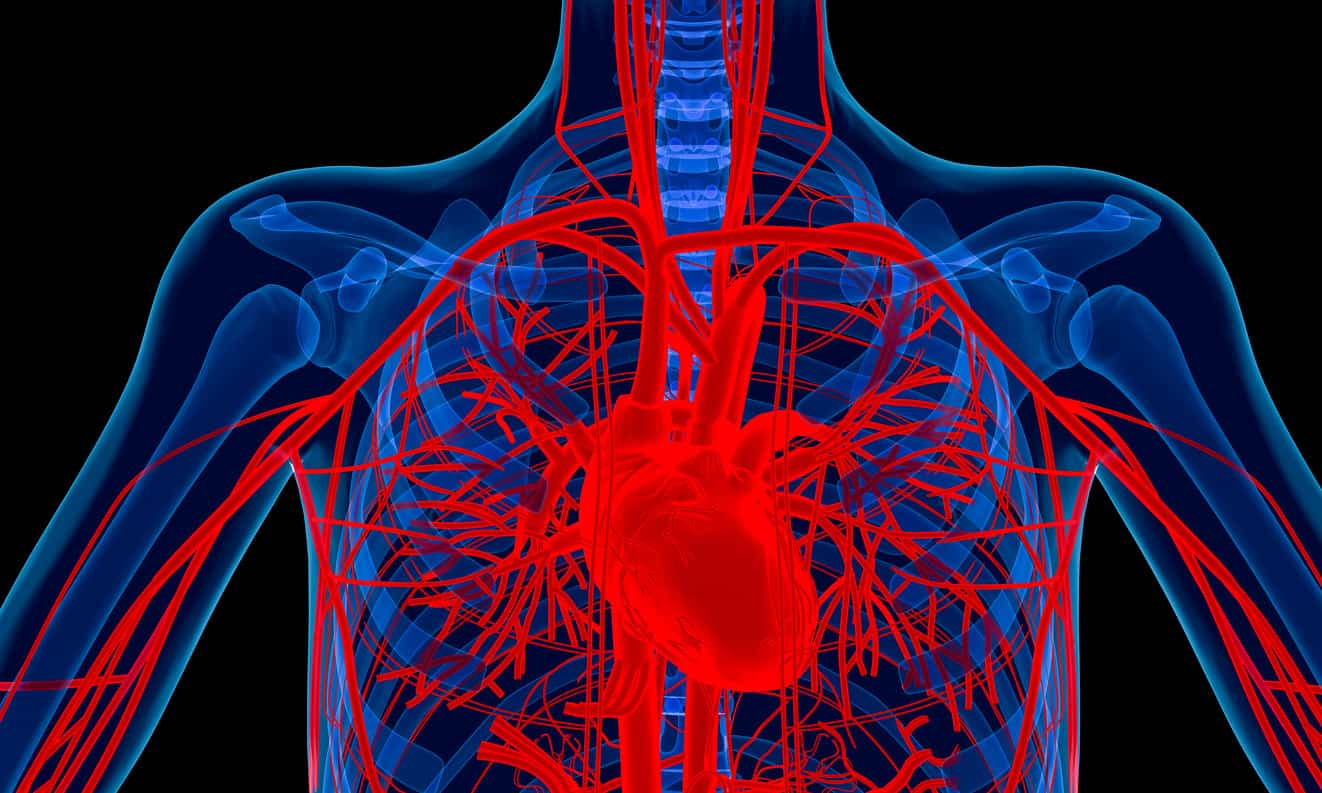 The circulatory system enables blood to travel around the body.