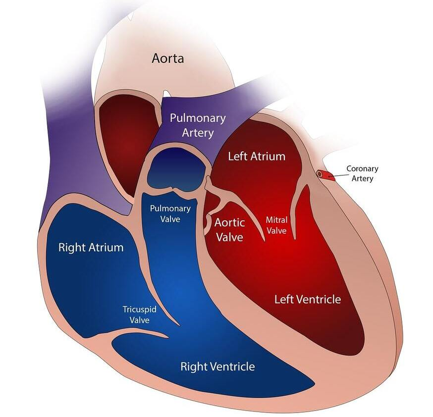 The human heart is divided into four chambers.