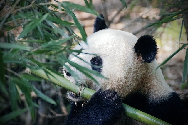 Bamboo is the main component of a panda's diet.