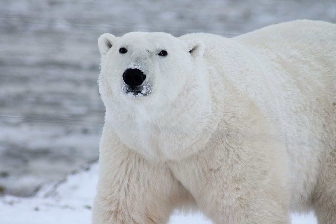 Polar bears are the largest species of bear.