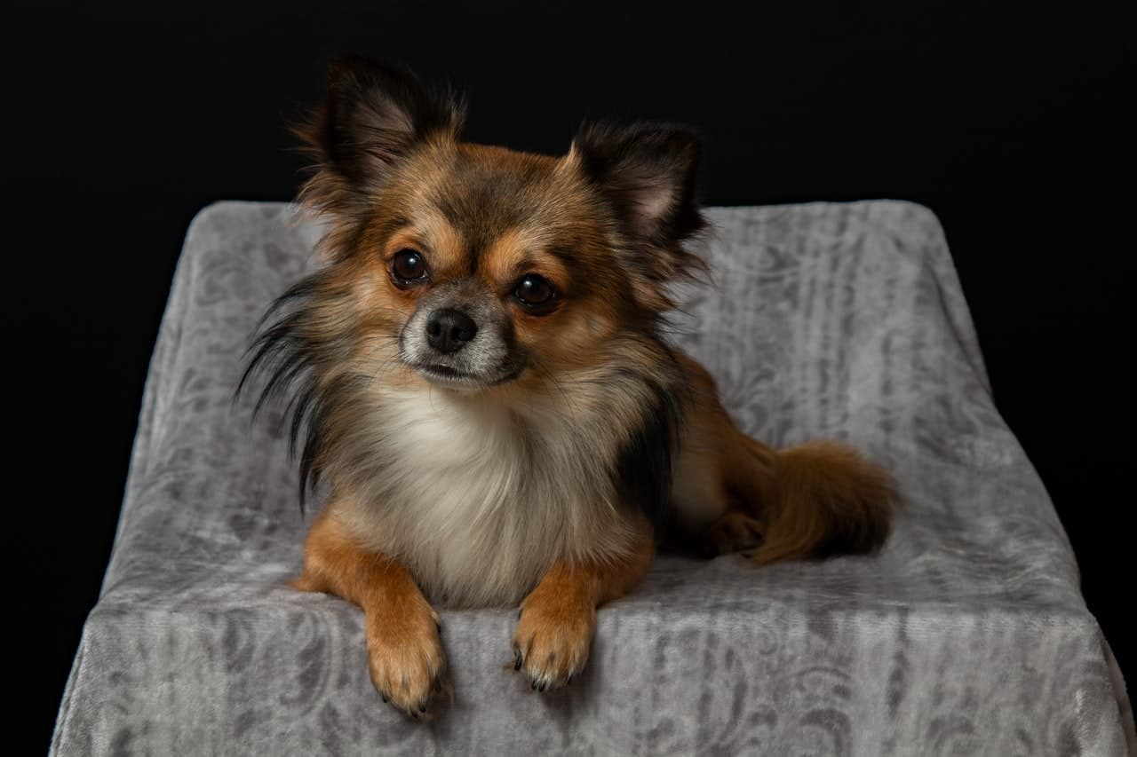There are two types of chihuahua: long haired and short haired.