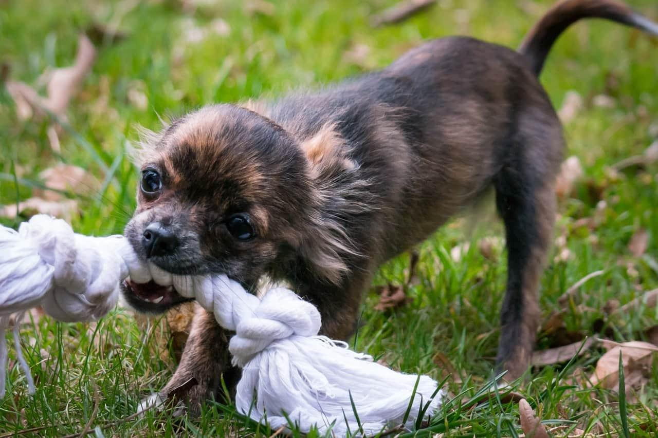 Chihuahuas love to retrieve toys or balls.
