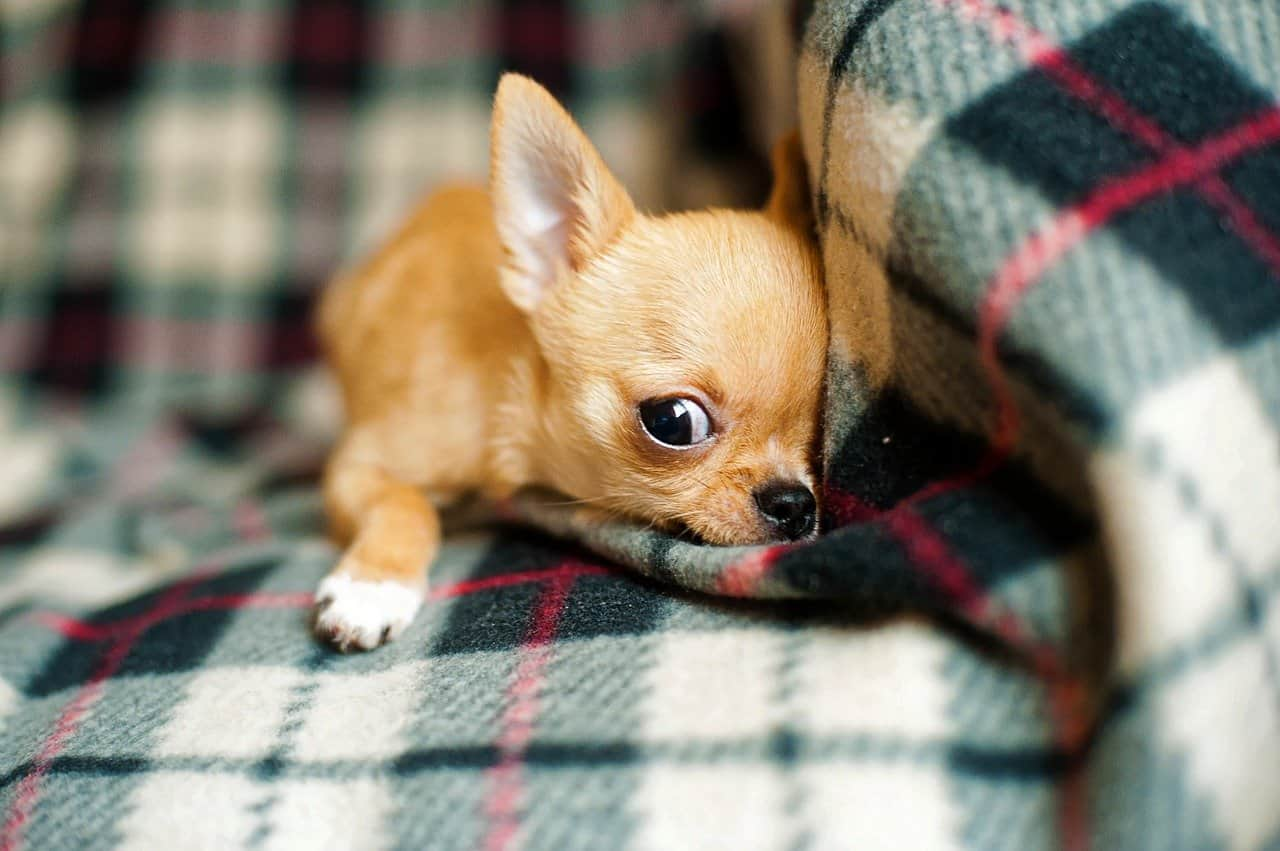 Chihuahuas love to burrow and make themselves nests.