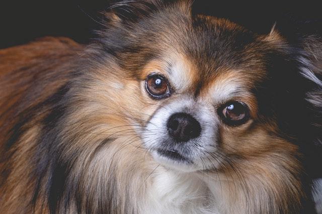 Pomeranians are popular show dogs.