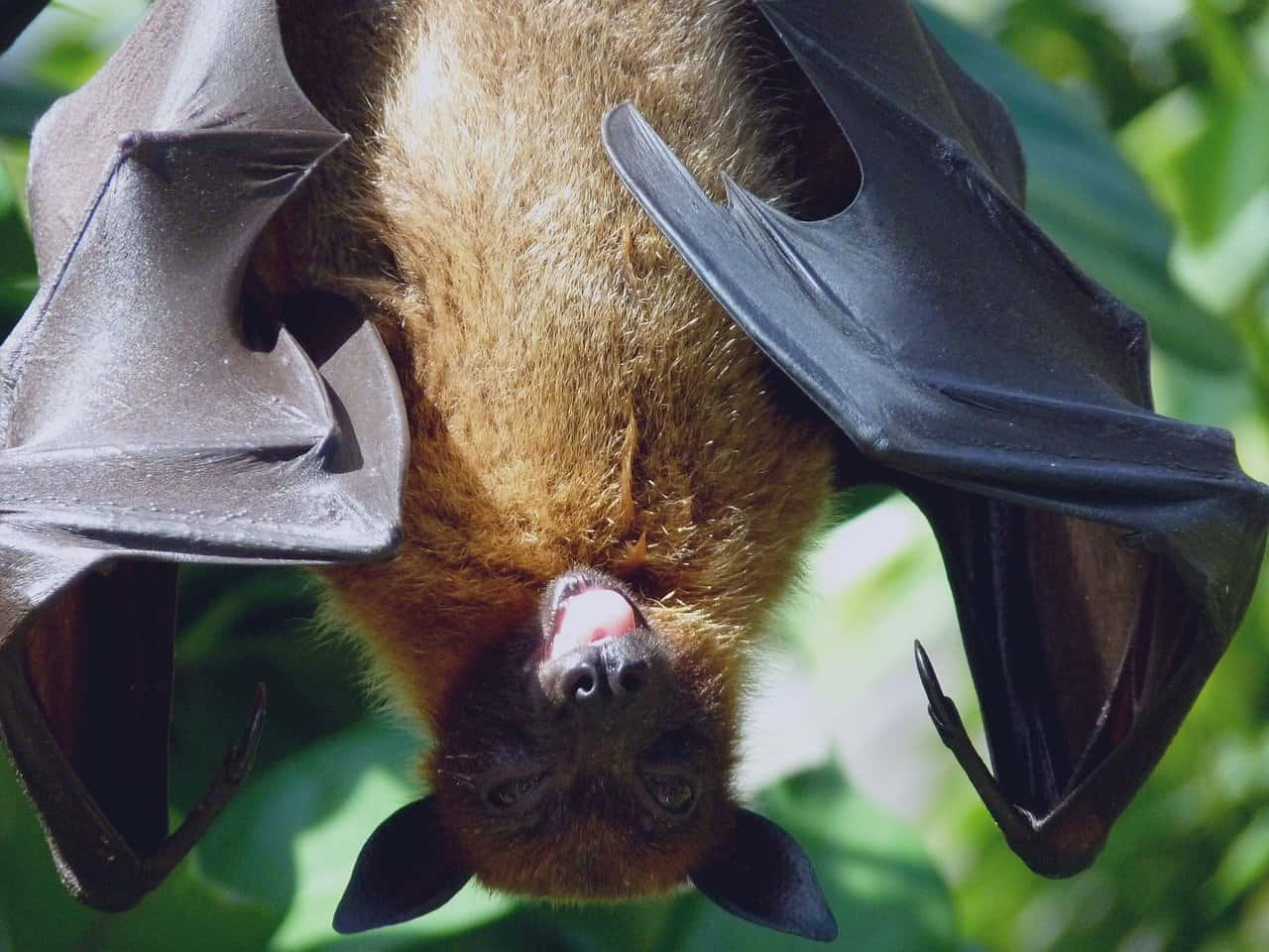Most species of bats are black or brown.