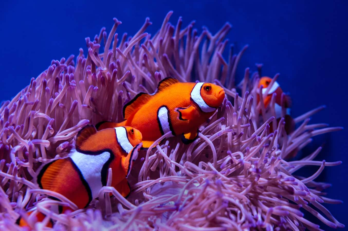 The relationship between the clownfish and sea anemone is called symbiosis