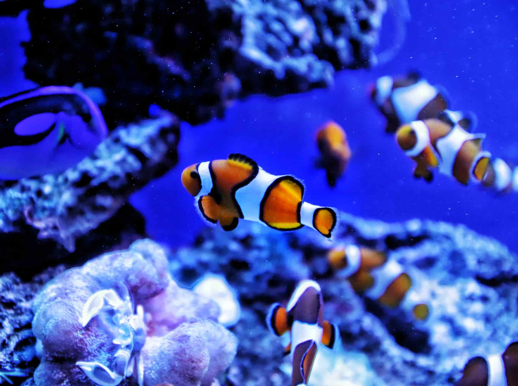 A group of clownfish is called a school