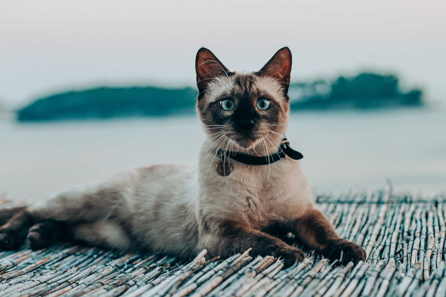 Siamese cats come from Thailand