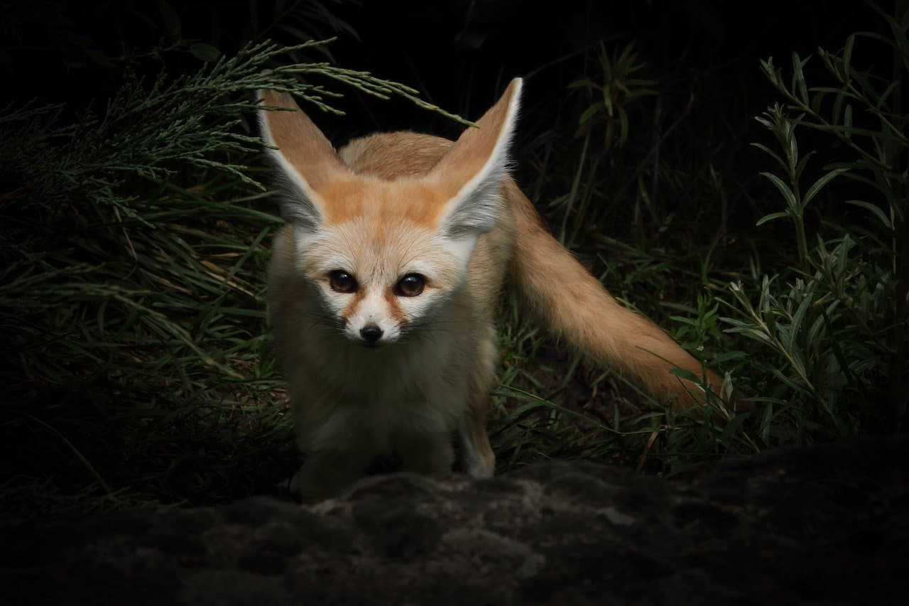 The huge ears of the Fennec foxes are super cute meaning they have great