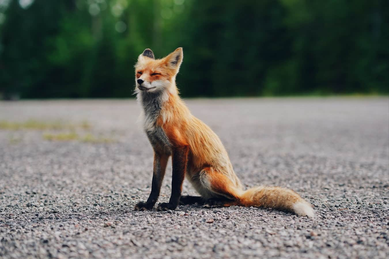 Foxes have made many features in pop culture, including The Little Prince and 'Fantastic Mr Fox