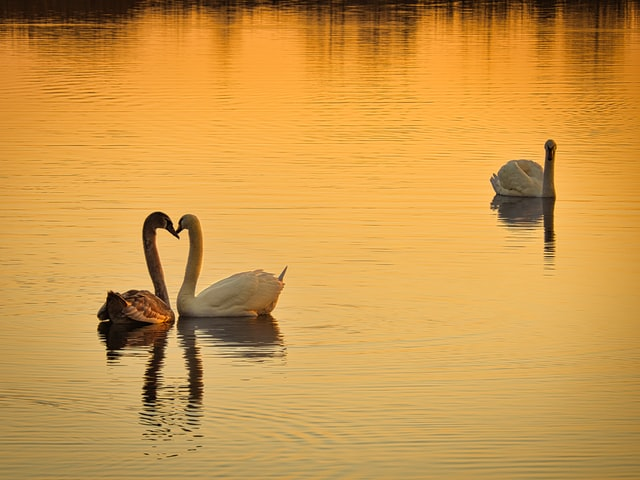 Swans symbolize love and are often shown with their necks intertwined to form a heart.