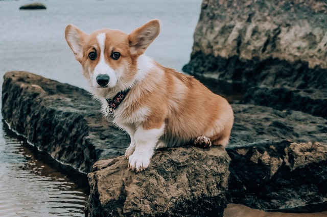 A good wordplay with corgi can really make you stand out as the punny one.