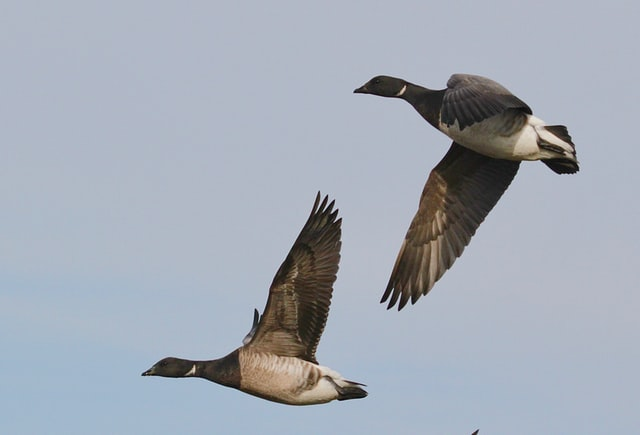 Geese and their puns have the ability to travel large distances.