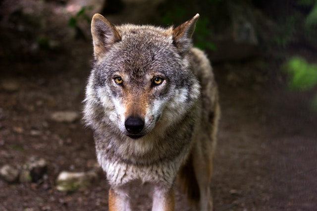 Pick from our list of famous wolf names.
