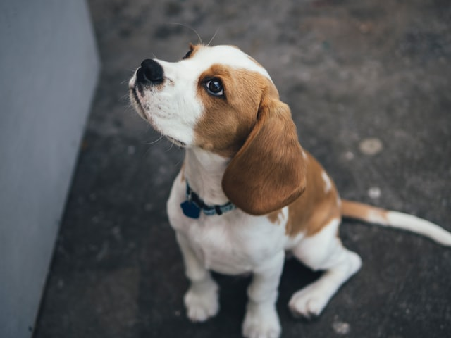 There are hundreds of beagle names for your new puppy.