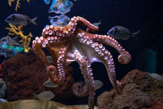 Octopus is a rare pet for aquarium.
