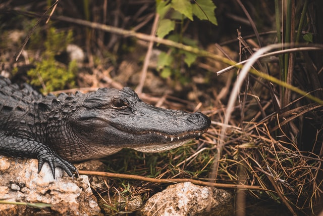 Alligators can be great pets if you are brave enough.