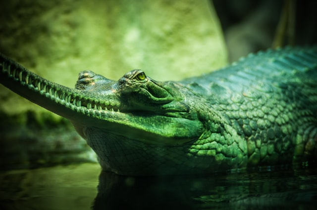 The size of a baby alligator is less than one foot at the time of birth.