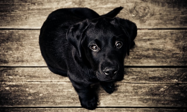 A wonderful name that suits your cute little black lab puppy will make the pup stand out in an instance.