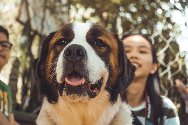 St Bernard dogs are a lovely and helpful breed of dogs.