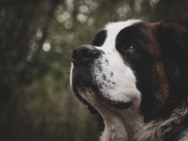 St. Bernard dogs are usually found in the Alps.\