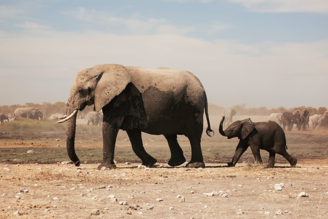 It is herd to separate two caring elephants.