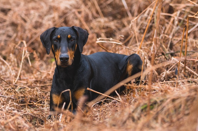 Take a look at our list of the best names for a Doberman.