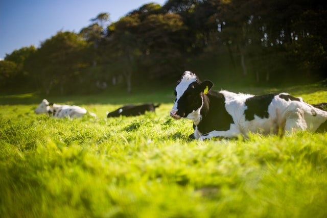 Laugh along with this list of the best cow jokes and cow one-liners.