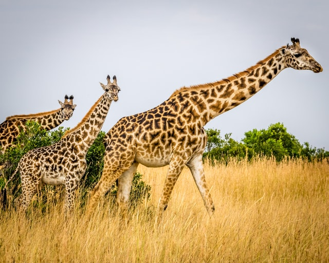 Finding a funny and cute giraffe name can be difficult.