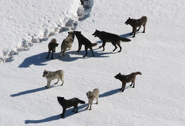 You can also pick several funny names for your wolf pack.