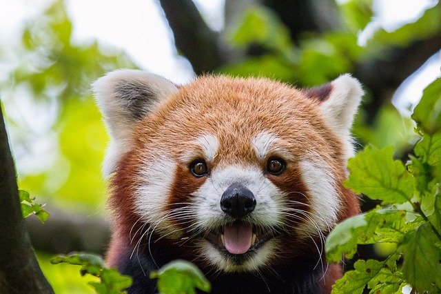 50 Red Panda Names Perfect For New Teddies by Kidadl