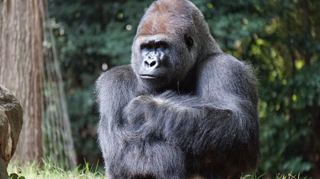 Gorillas are iconic animals and are used to symbolize a lot of things.