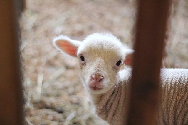 Sheep might put you to sleep, but sheep jokes won't!