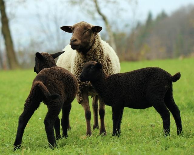 Ewe can never not laugh at sheep jokes!