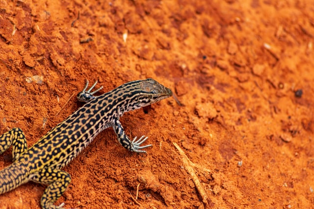 There are hundreds of ideas for leopard gecko names.