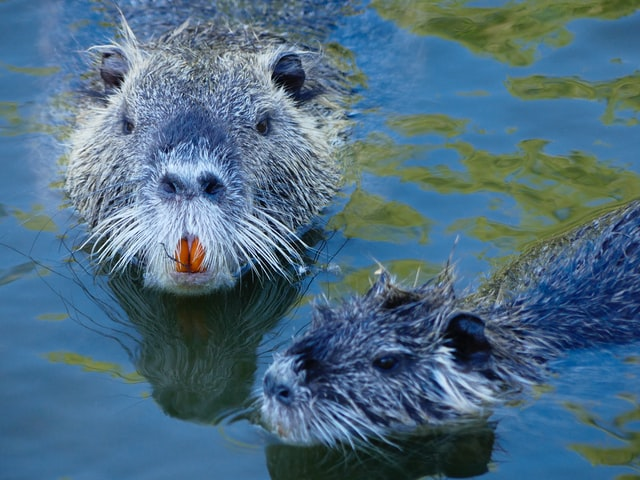 Beavers attract people with their cuteness.
