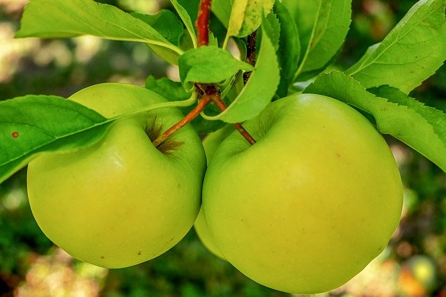 Green Apples symbolize a young Giving Tree.
