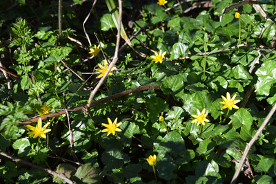 Catch celandines from February along hedgerows and woods.
